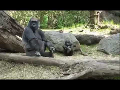 Bird Scares Cute Baby Gorilla - Watch Mom's Reaction, Too!