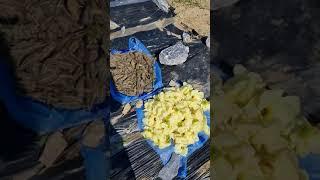 풍산게르마늄을  살포하여  가꾼  금화규농사  풍성한 …