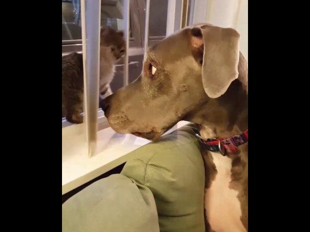 Kitten boops great Dane in the nose