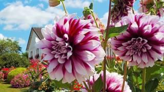 Георгин (Dahlia) для начинающих цветоводов