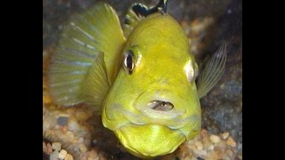 cichlid birth,Cichlid Aquarium,cichlid fish,cichlid aquarium, aquarium cleaning