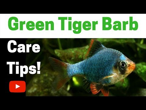 Green Tiger Barb Care Tips