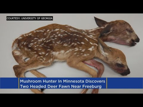 Study Published On Ultra-Rare Two-Headed Deer Found In Minnesota