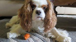 АВСТРАЛИЯ148:Едят ли собаки Морковку?