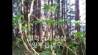 봄나물. 최고의 약초나무. 자연속의 천삼 (땃두릅 나무…