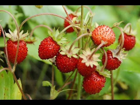 Выращивание земляники в торфяных таблетках - пошагово.