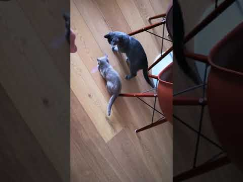 Cats Chasing Laser Mouse Pointer