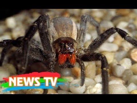 10 loài nhện độc đáng sợ nhất với con người