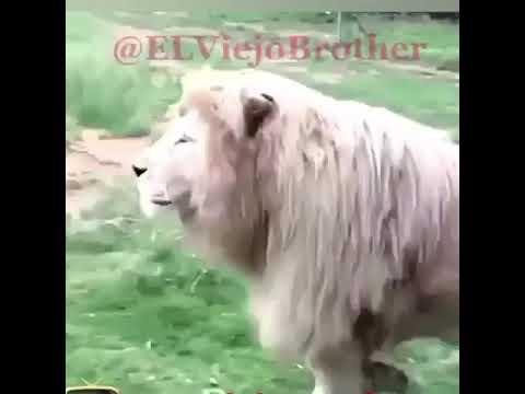 {Lion} Hello!!!! good morning!!!
