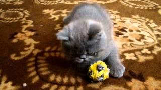 2   веселый персидский котенок 2