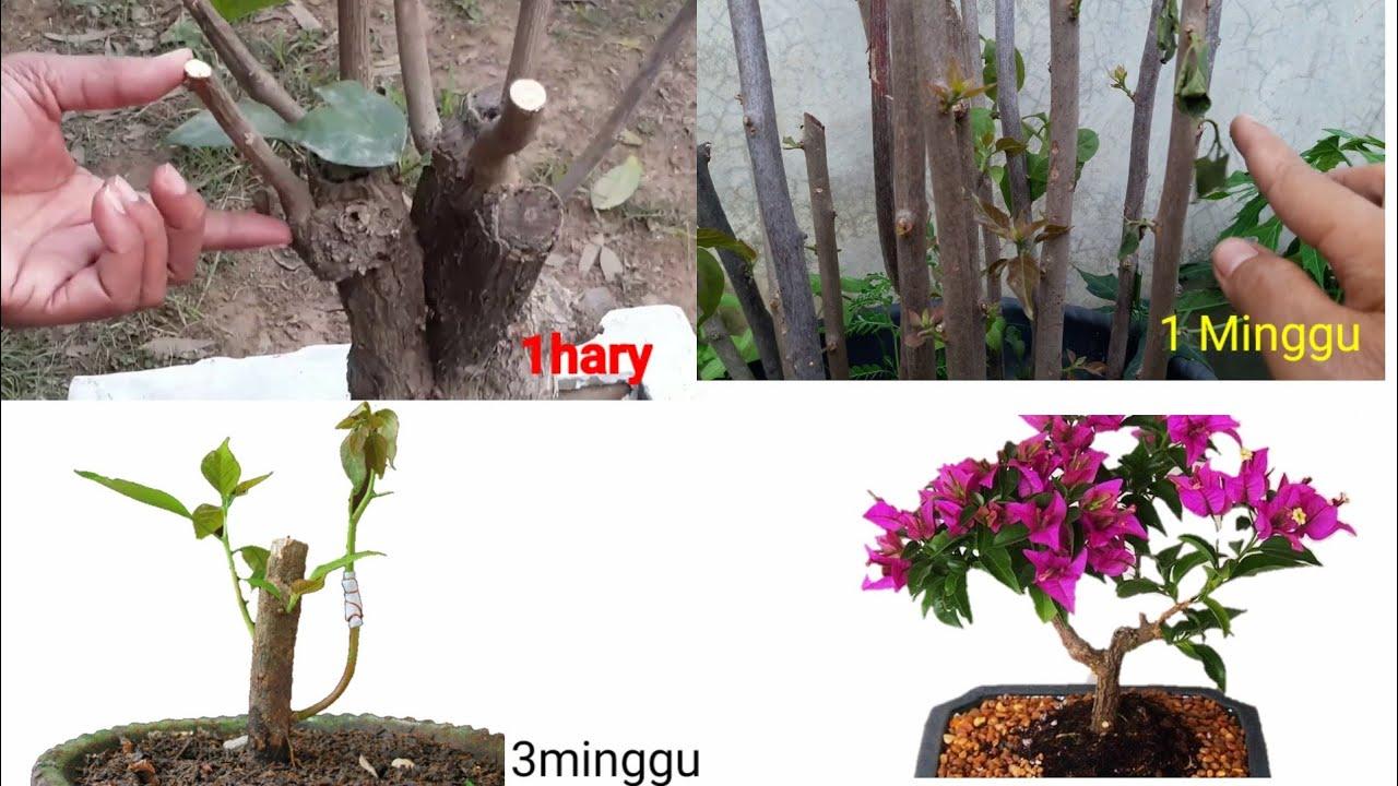 Cara Menanam Bunga Kertas Dengan Stek Batang Youtube Cara budidaya bunga kertas