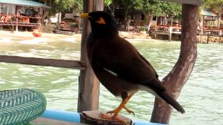 Common Indian Myna sound during breakfast -Ko Samet Thailand