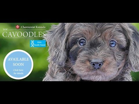 Beautiful Toy Cavoodles