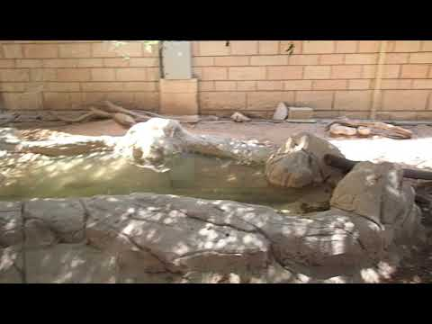 13 Capybara Hydrochoerus hydrochaeris Emirates Zoo Abu Dhabi 2018
