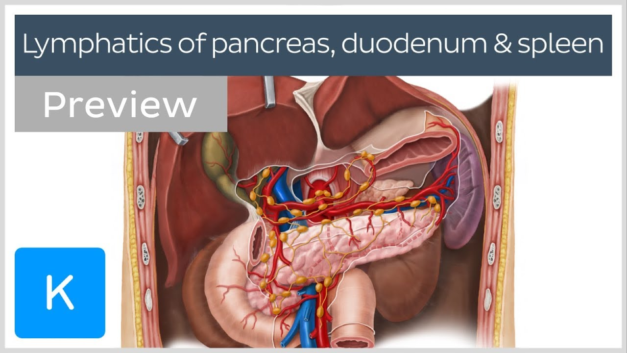 Lymphatics Of The Pancreas Duodenum And Spleen Preview Human