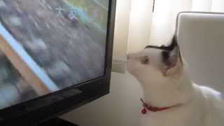 「たま」の毎日の日課、「あまちゃん」のテーマ曲と猫の「狩り」 Japanese cat 「Tama」,go hunting thumbnail