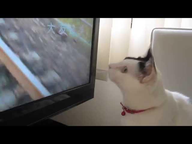 「たま」の毎日の日課、「あまちゃん」のテーマ曲と猫の「狩り」 Japanese cat 「Tama」,go hunting