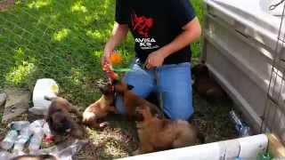 Belgian Malinois Puppies For Sale Knpv Lines