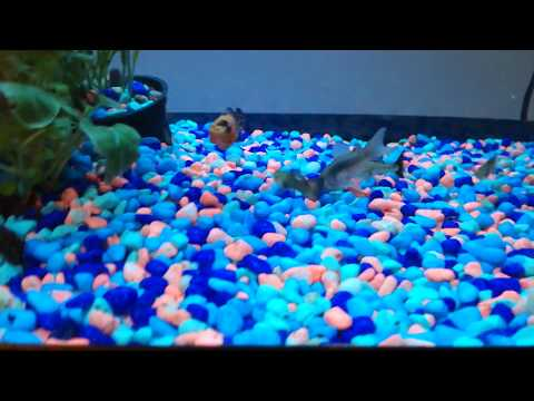 What To Feed Cory Catfish? Watch Them Go Crazy For It!
