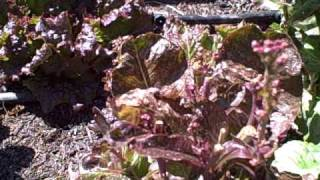 Lettuce Update - Eating Bolting Lettuce Going to Seed.  Growing Tips.