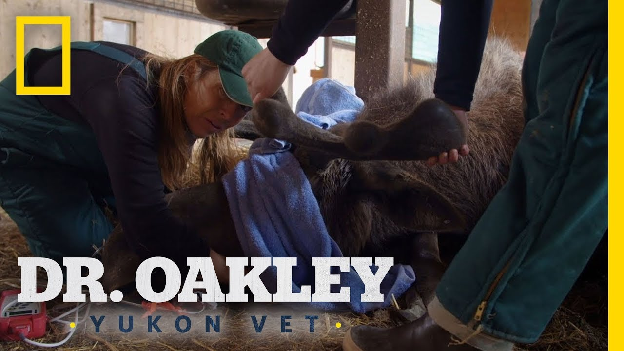 Checking a Mooses Teeth | Dr. Oakley, Yukon Vet