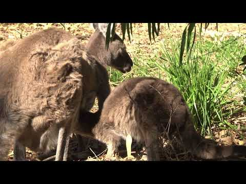 A Joey Grey Kangaroo suckling,  with his head in Mum's pouch - closer