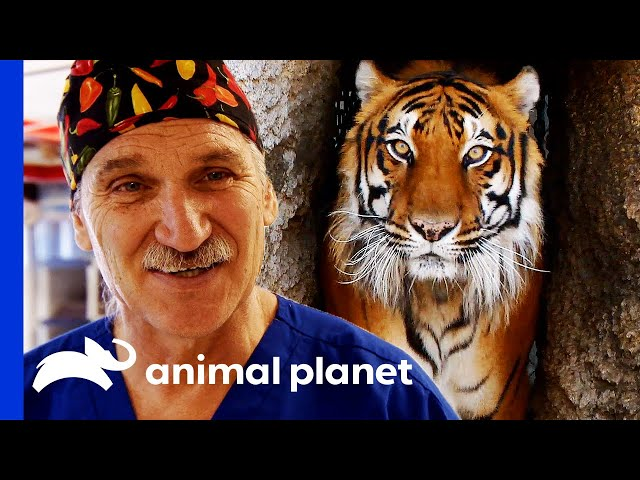 Dr. Jeff Neuters a Tiger! | Dr. Jeff Rocky Mountain Vet
