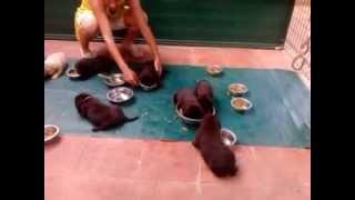 cachorros de labrador con 25 dias a prendiendo a comer