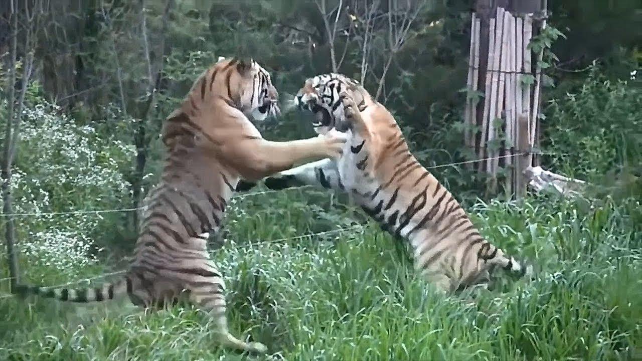 LİON vs TİGER Real Fight Leopard Jaguar Crocodile Snake ...