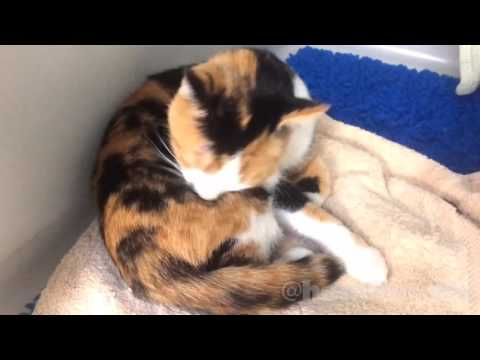 😻 friendly, small, gentle calico cat