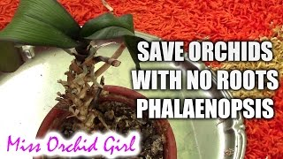 How to save a Phalaenopsis orchid with no (or with few) roots plus cutting the stem