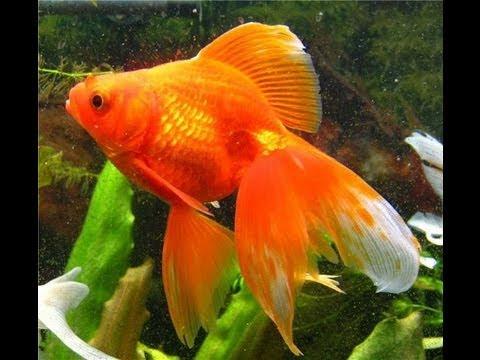 Как называется золотая рыбка