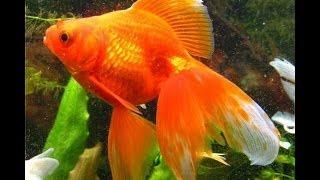 Золотая рыбка. Содержание, уход, размножение. Аквариум. (часть 2).