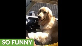 """Golden Retriever """"assists"""" owner with driving duties"""