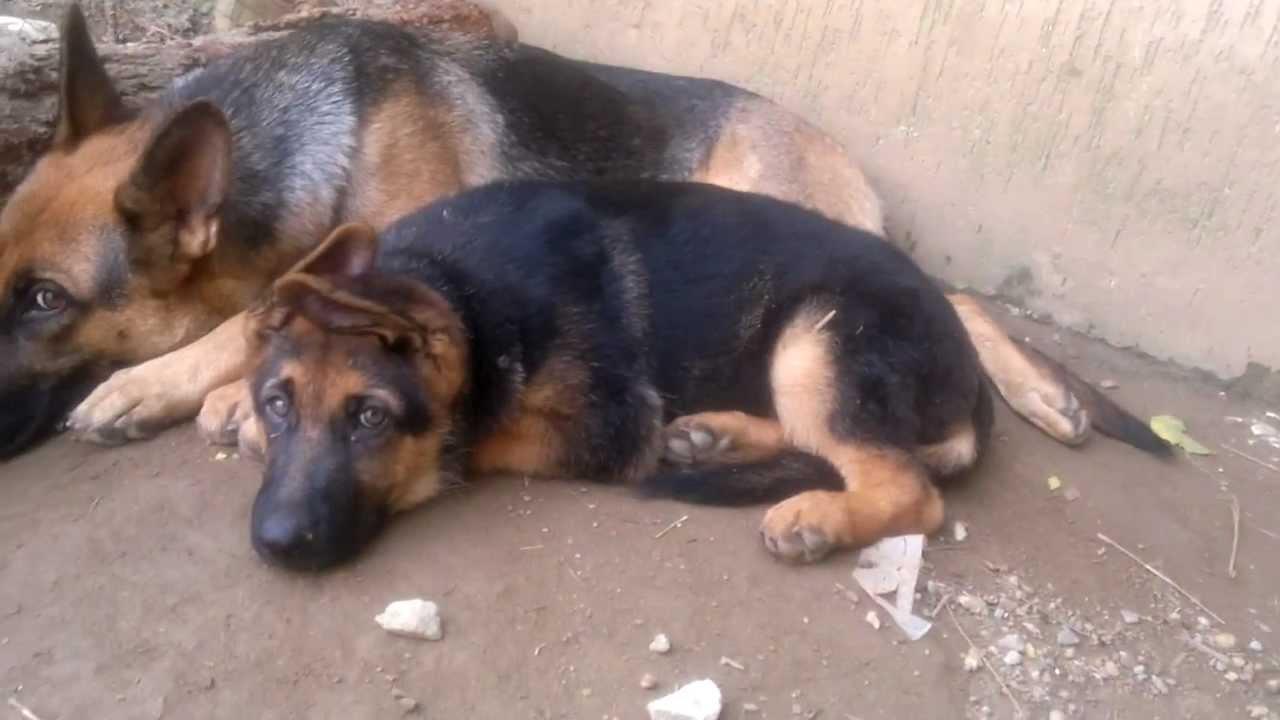 Puppies For Sale German Kentucky Louisville Shepherd In