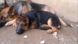 3 Months Old German Shepherd Puppy