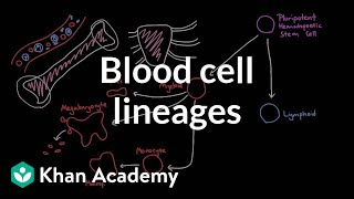 Blood cell lineages | Human anatomy and physiology | Health & Medicine | Khan Academy