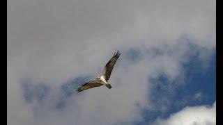 Águila Pescadora. Osprey. (Pandion haliaetus)