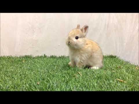กระต่ายแคระน่ารักมาก