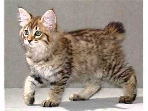 American Bobtail cats domestic cat medium to large cat