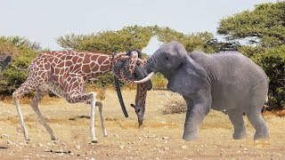 Elephant Chasing Giraffes To Protect The Territory | Giant Animals