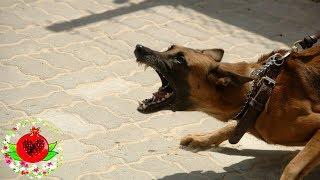 Домашние средства от бешенства (после укусов собак)