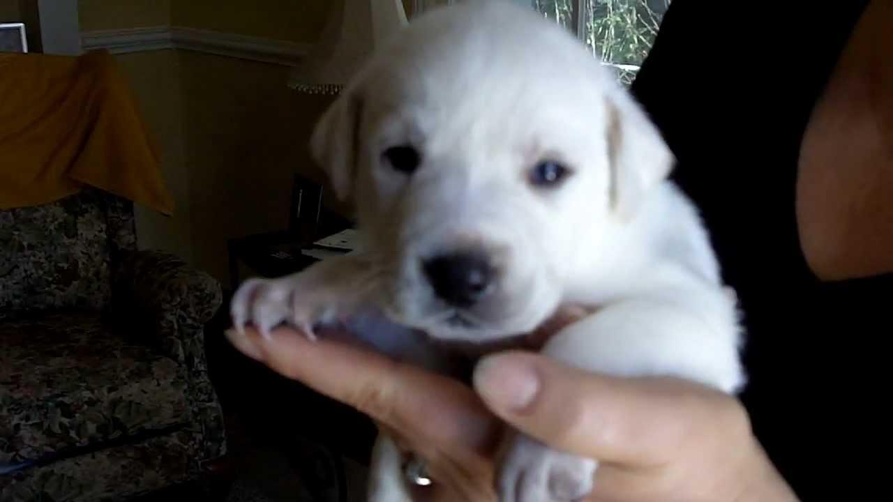 Rare Pure White Labrador Puppy Born 1 8 12 Lab Pup Dog Puppies