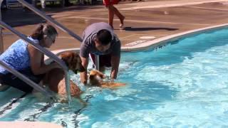 One-year Old Corgi Enjoys Swimming