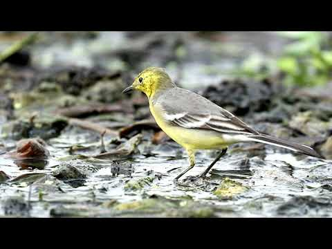 Citrine Wagtail a little bird of Bangladesh by RST Wildlife