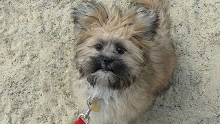 Coco - Lhasa Apso Puppy - 4 Week Residential Dog Training At Adolescent Dogs