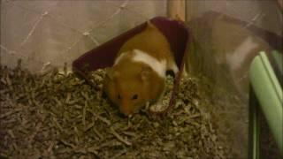 hamster using potty