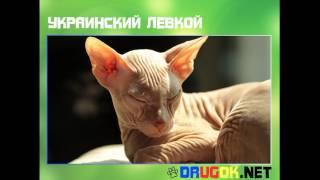 видео Украинский левкой