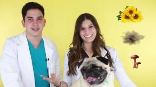 5 Problemas más comunes de los PUGS   Meds For Pets