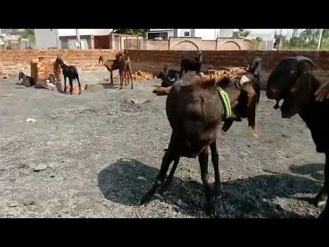 2 daat punjabi goat for sale 25000/-